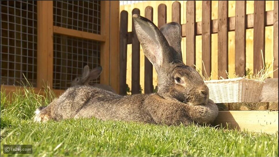سرقة أكبر أرنب في العالم:  1.3 ألف دولار مكافأة للإبلاغ عن مكانه