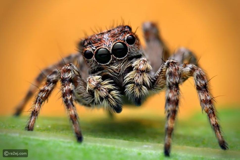 دراسة تكشف معلومة جديدة مرعبة عن العناكب!