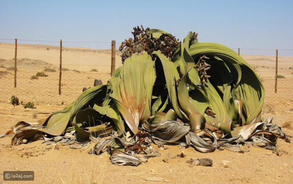 نبات ويلويتشيا: يمكنه البقاء على قيد الحياة لآلاف السنين