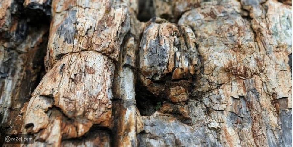 كشف فريد من نوعه: شجرة عمرها 20 مليون سنة وهذه مواصفاتها