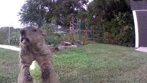 السنجاب السمين.. لص طريف يسرق محصول مزرعة ويتباهى أمام الكاميرا