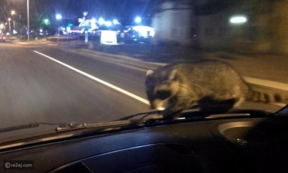 """شاهد.. حيوان """"راكون"""" يثير ذعر ضابط شرطة بهذا التصرف المفاجئ!"""