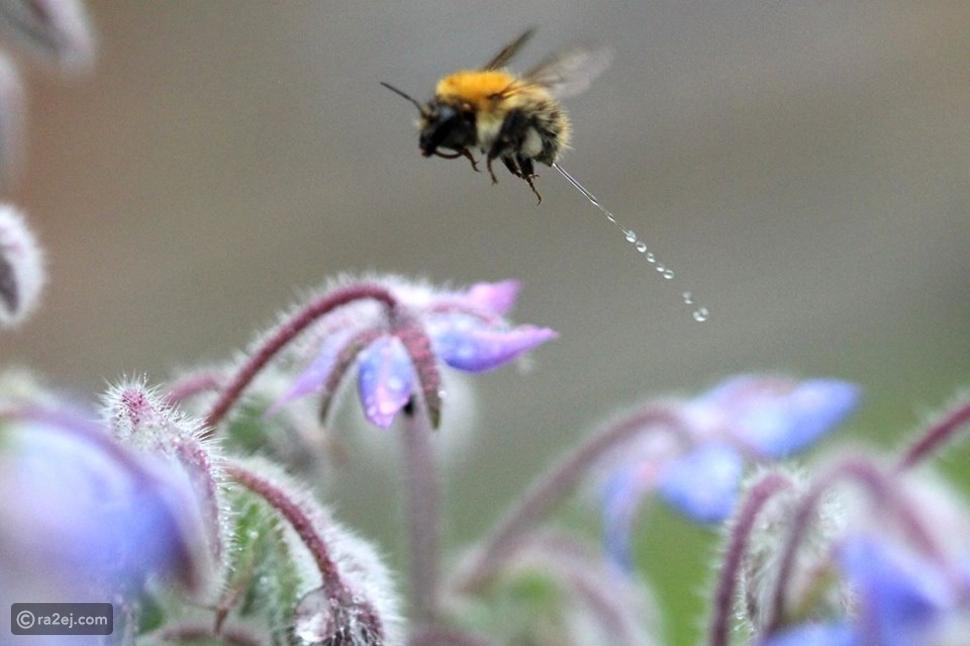 نحلة تتبول.. أغرب صورة التقطت في عالم الحيوان على الإطلاق