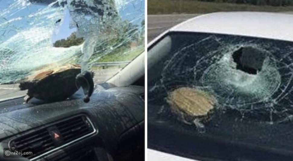 سلحفاة تتسبب في إصابات بعد اختراق الزجاج الأمامي لسيارة على طريق سريع