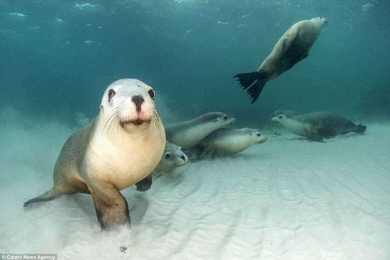 بالصور: كلاب البحر تلعب مع مصور في أعماق المحيط