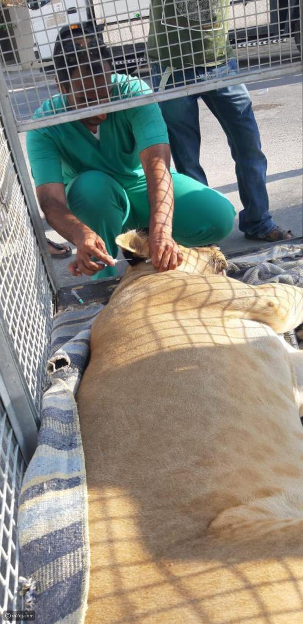 أسد يتجول في أحد شوارع السعودية والسلطات تدخل