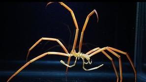 شاهد بالصور والفيديو .. اكتشاف جديد لعناكب بحرية مرعبة تتنفس من أرجلها
