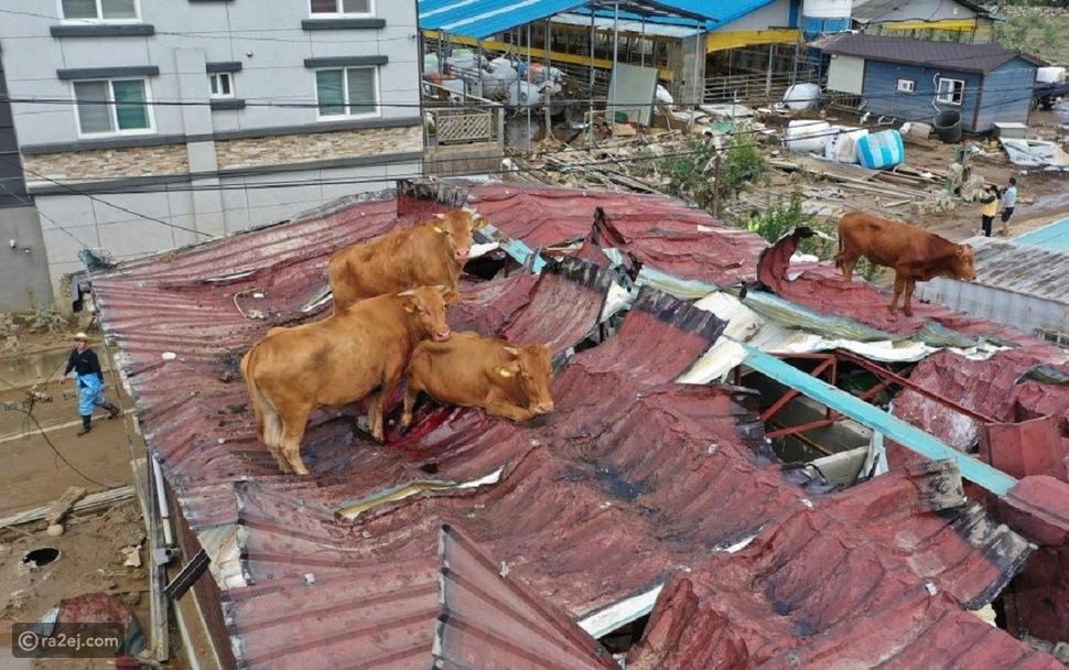 أبقار عالقة على أسطح المنازل: صور حقيقية وليست فوتوشوب