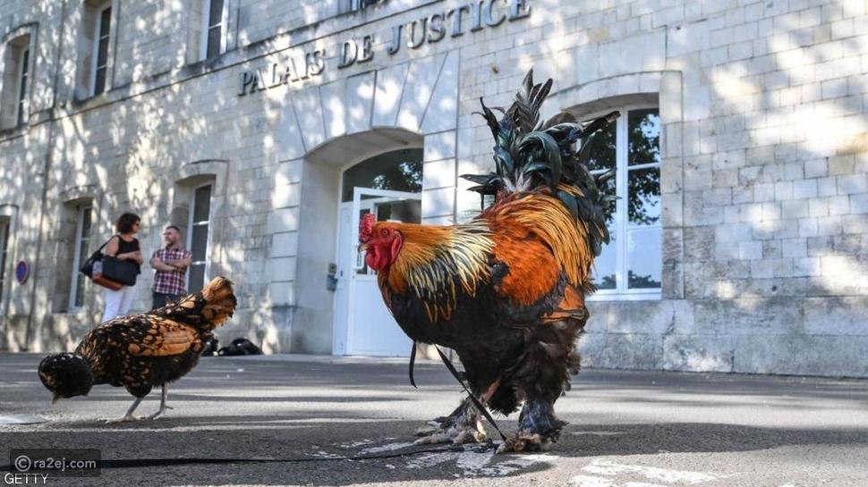 الديك موريس..رمز الحياة الريفية الفرنسية يتوقف عن الصياح