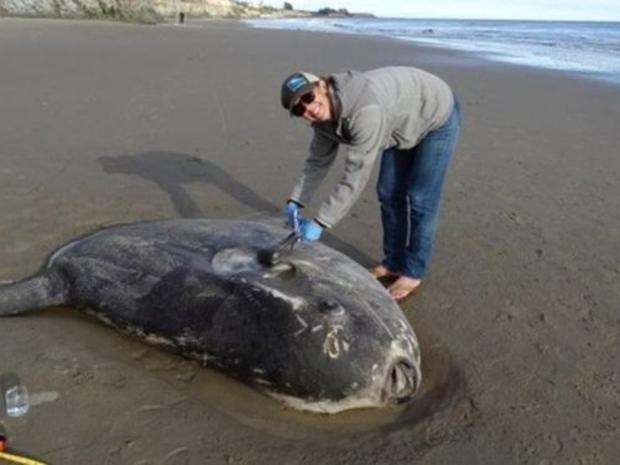 يبحث العلماء في كيفية وصول السمكة إلى شواطئ كاليفورنيا