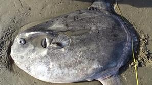 سمكة نادرة تعبر خط الاستواء وتهجر بيئتها لسبب غامض .. العلماء في حيرة