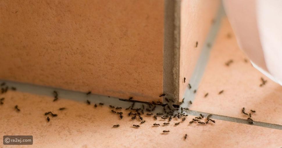 كيفية التخلص من النمل بمكونات طبيعية