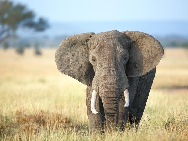 بالفيديو.. شاهد فيل عملاق يتجول في بهو فندق بسريلانكا