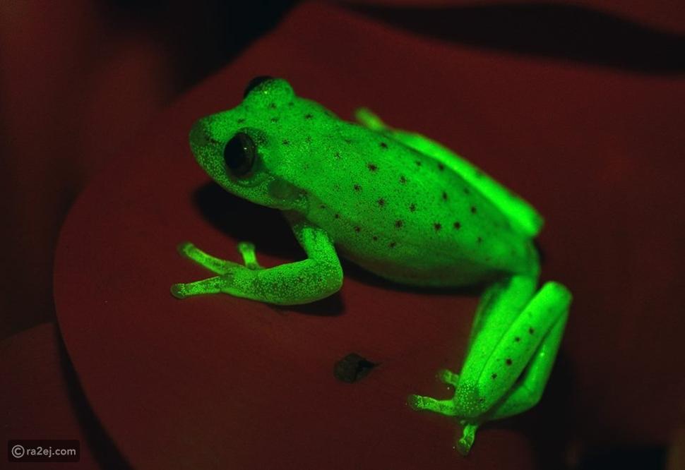 صور اكتشاف علمي مدهش: ضفادع خضراء مضيئة وكأنها أقلام فسفورية!