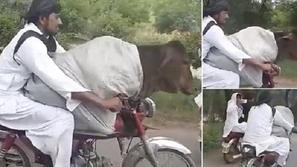 فيديو: لقطة مثيرة لرجل يحمل بقرة ضخمة على دراجته النارية