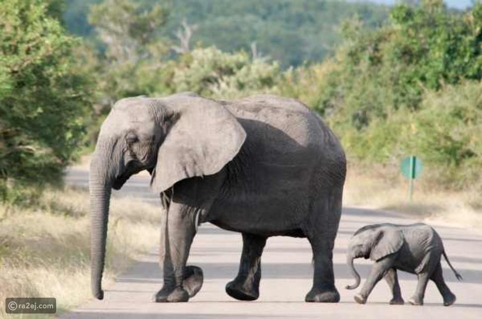 سؤال لم يجب عنه العلماء .. لماذا لا تقفز الأفيال؟