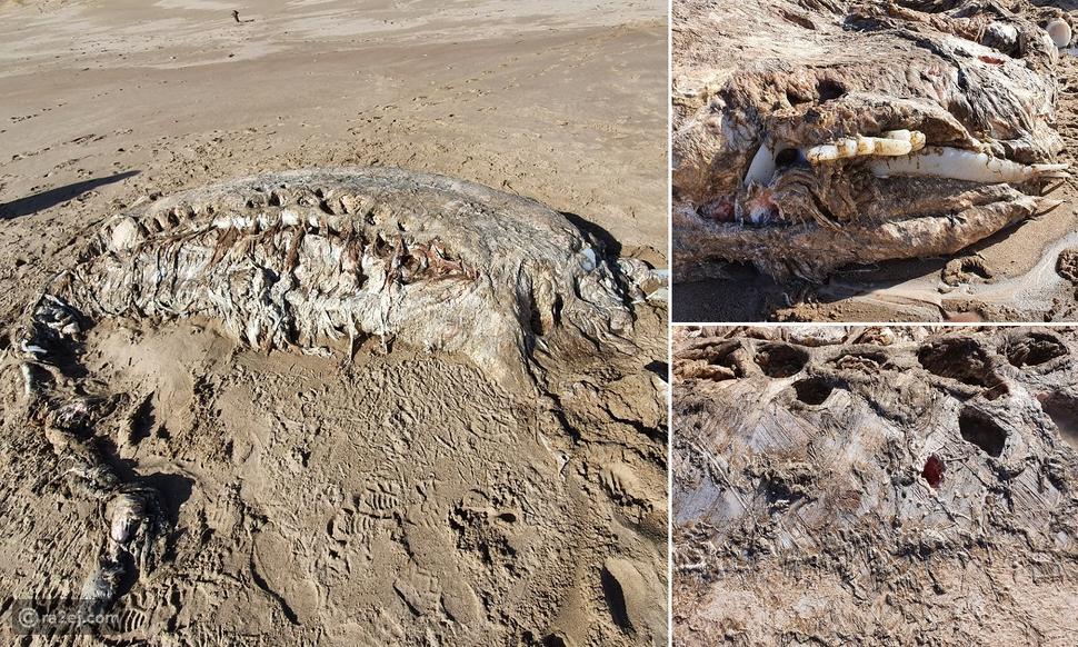 مخلوق بحري غامض يبلغ طوله 23 قدمًا يظهر على الشاطئ في ويلز