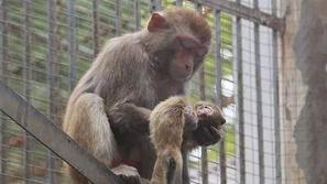 صور تفطر القلوب لقردة تلد لأول مرة وترفض ترك جثة رضيعها