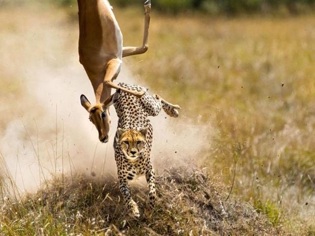فهد شن هجوماً ضدها في محمية ماساي مارا بكينيا