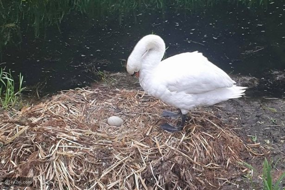 مكسورة القلب: رحيل البجعة الأم بعد فقدان صغارها