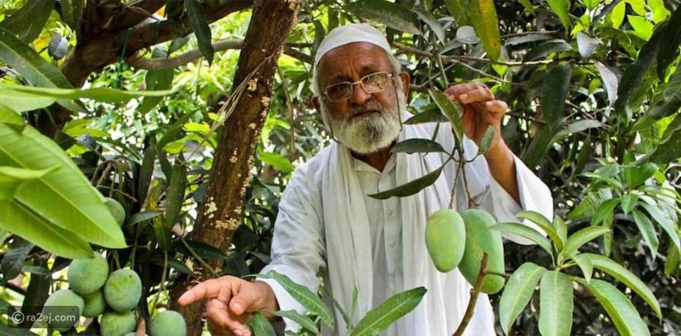 المُلقب برجل المانجو: يزرع شجرة تنتج 300 نوع مختلف من المانجو