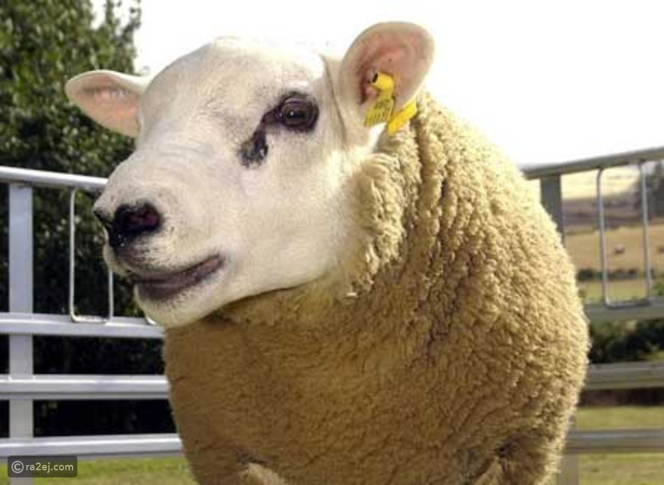 أغلى خروف في العالم: سعره يفوق سعر ساعة رولكس