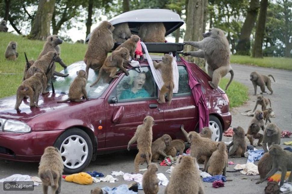 قصة القرود المسلحة في بريطانيا: خرافات شعبية أم عمليات مدبرة؟