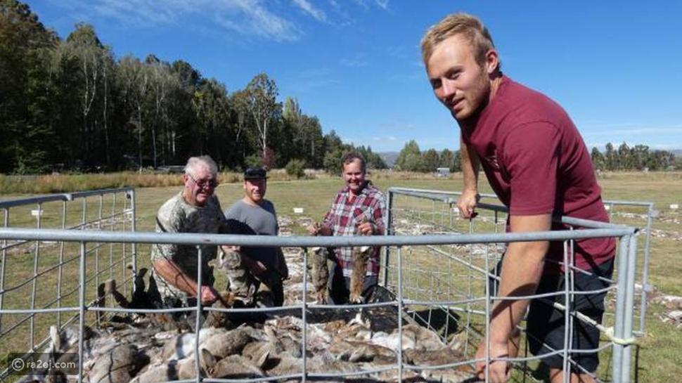 مدينة نيوزيلندية تعتبر الأرانب عدوها اللدود وتقيم لهم مذبحة جماعية