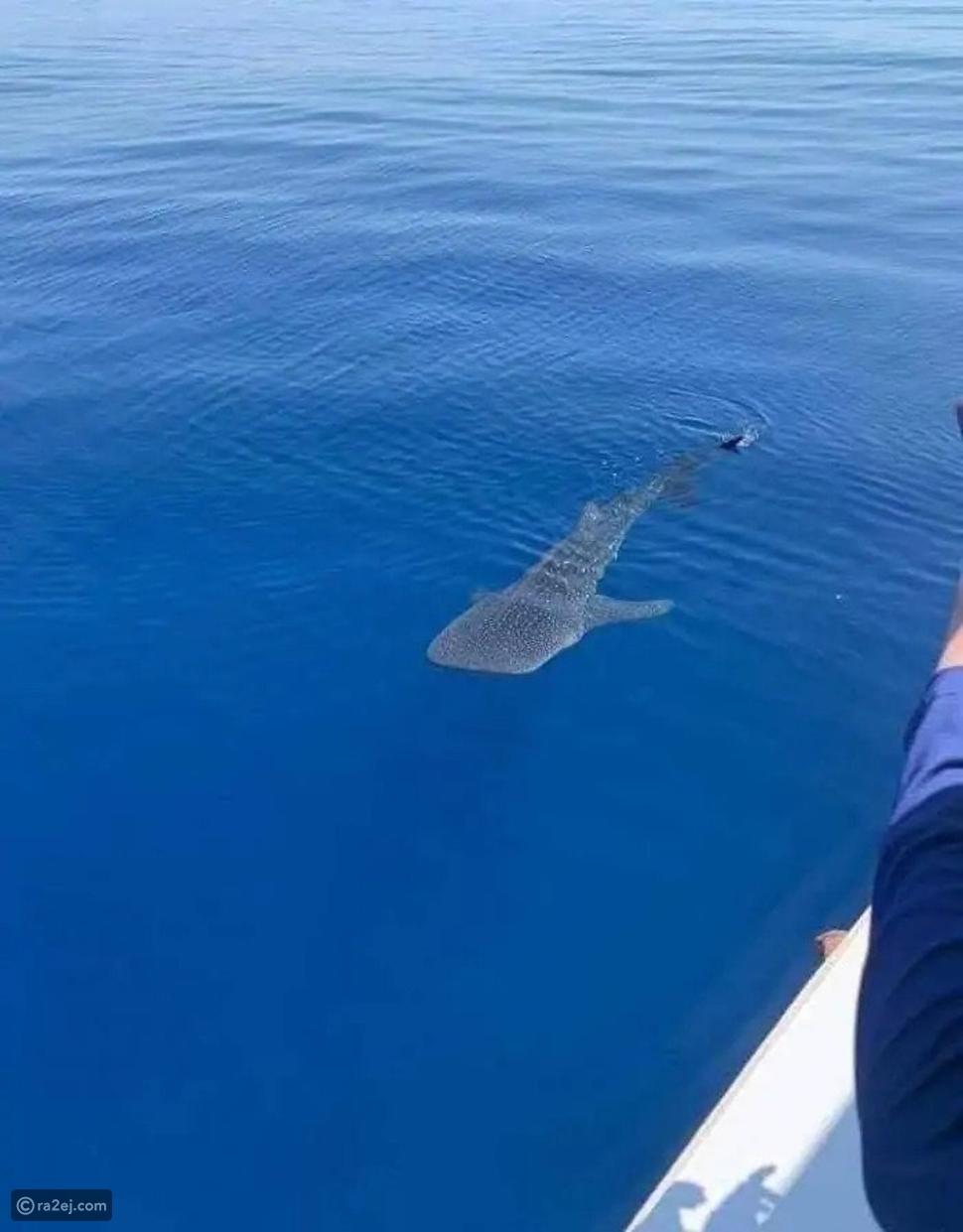 السعودي أبو وديع يكشف كواليس مغامرة القفز على ظهر القرش الحوتي