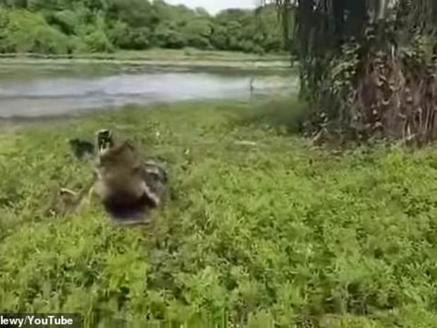 لحظة خروج التمساح
