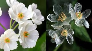 فيديو: زهور الأشباح..تتحول من لونها الأبيض إلى شفاف بمجرد ملامسة المطر