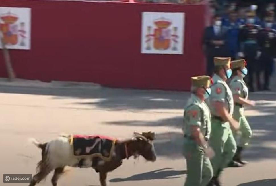 فيديو ماعز تشارك في عرض عسكري في إسبانيا وتخطف الأضواء