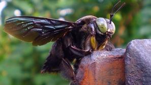فيديو: حجمها مرعب.. اكتشف أكبر نحلة في العالم