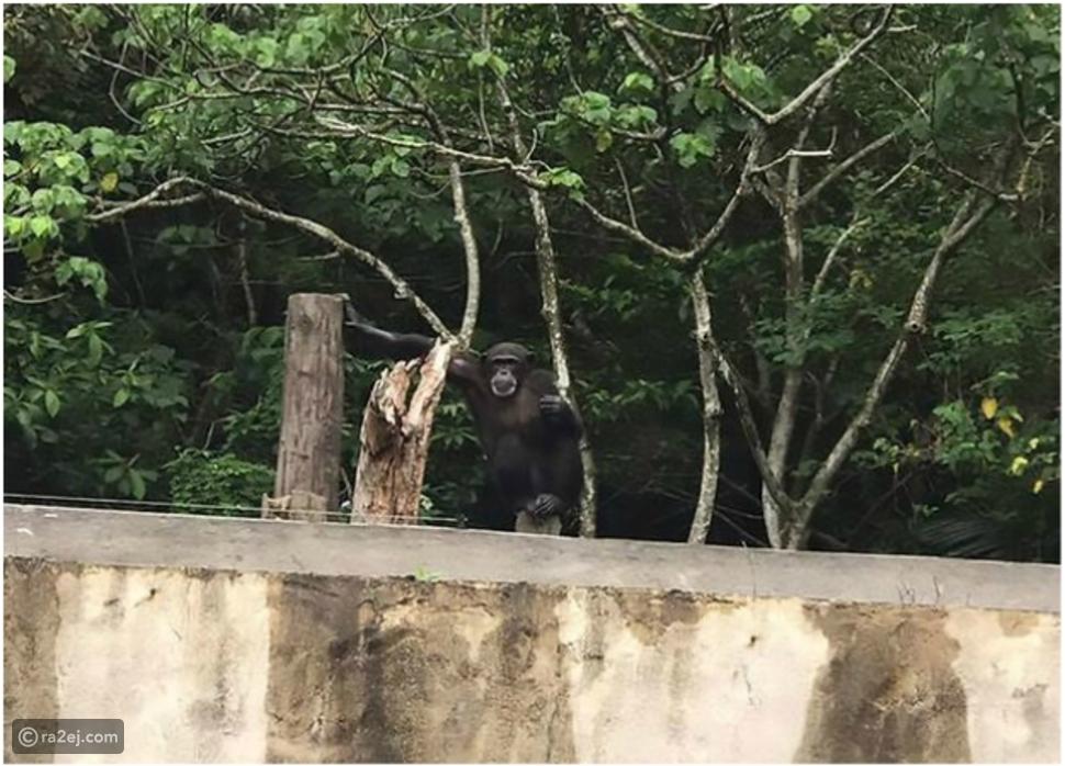 """شاهد بالفيديو.. """"شمبانزي"""" يثير رعب زوار حديقة حيوان بهذا التصرف!"""