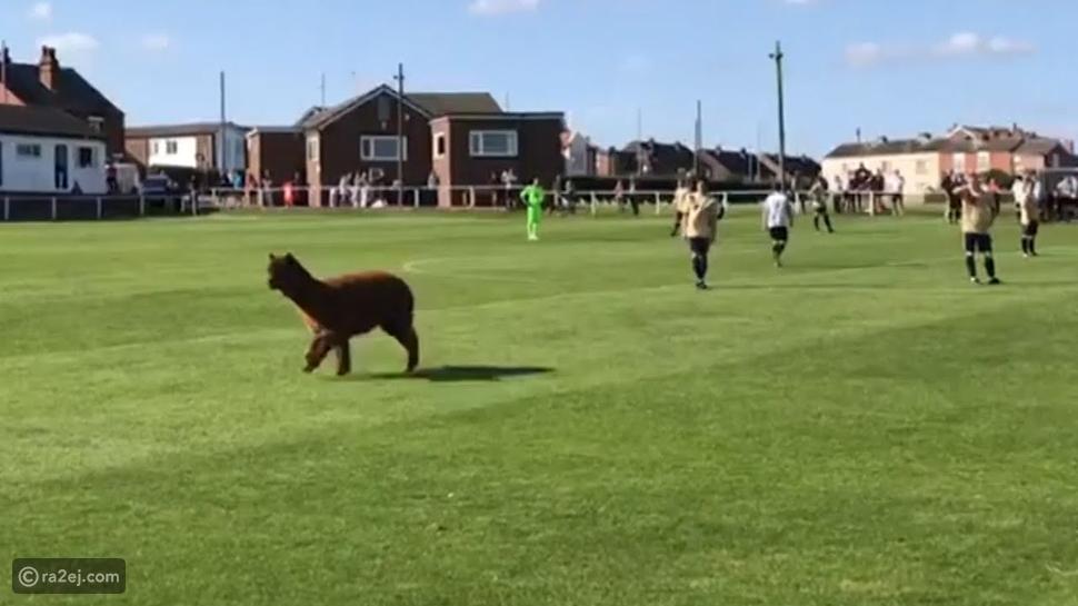 شاهد: حيوان الألبكة يقتحم مباراة كرة قدم: أحبه الجمهور وطارد اللاعبين