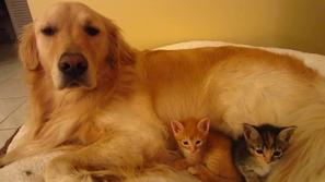 فيديو يذيب القلوب لكلب من فصيلة جولدن يعتني بقطط صغيرة كأنهم ابنائه