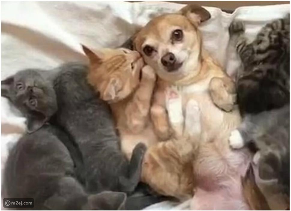 شاهد.. قطط تعانق كلباً للترحيب به في العائلة.. ورد فعل الأخير مضحك