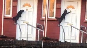 فيديو طريف: قطة ذكية تطرق باب المنزل وتستأذن قبل الدخول
