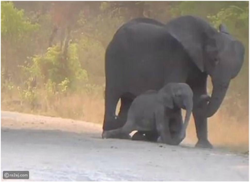 قطيع من الأفيال يحاول إنقاذ فيل رضيع صدمته سيارة مسرعة.. فيديو مؤثر