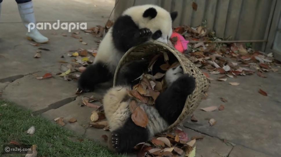 حيوانات الباندا