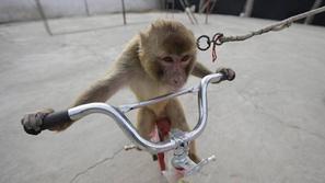 فيديو مُرعب لقرد يحاول خطف طفل بدراجته: وهذا رد فعل المارة