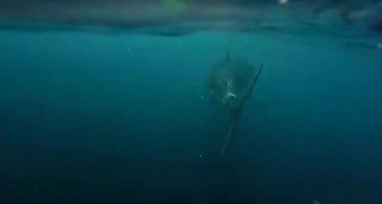 شاهد قرش أبيض ضخم يقترب من قارب صيد