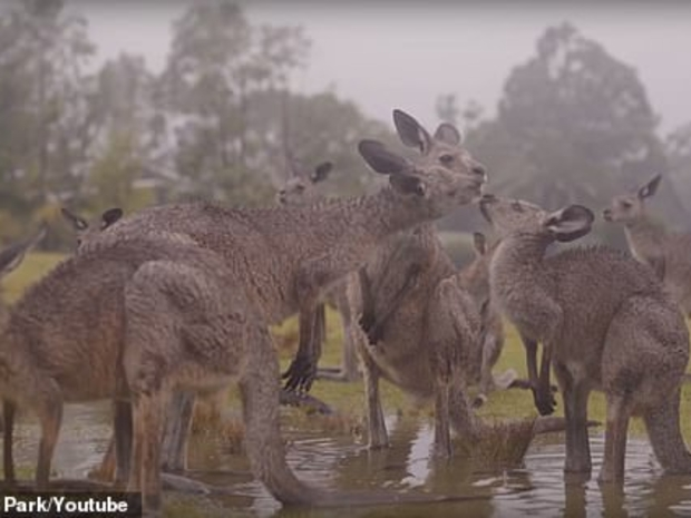 شاهد حيوانات أستراليا تحتفل بسقوط الأمطار