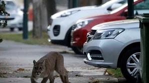 بعد حظر التجول:الحيوانات البرية تتسلل إلى شوارع هذه المدن الخالية