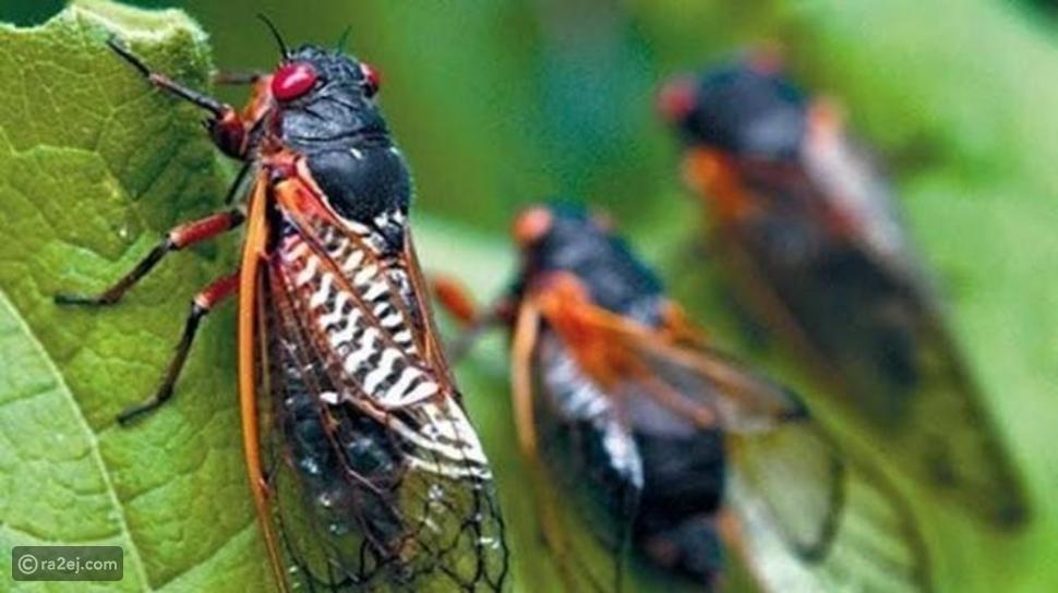 شاهد حشرة السيكادا: تخرج من باطن الأرض مرة كل 17عامًا لسبب غريب!