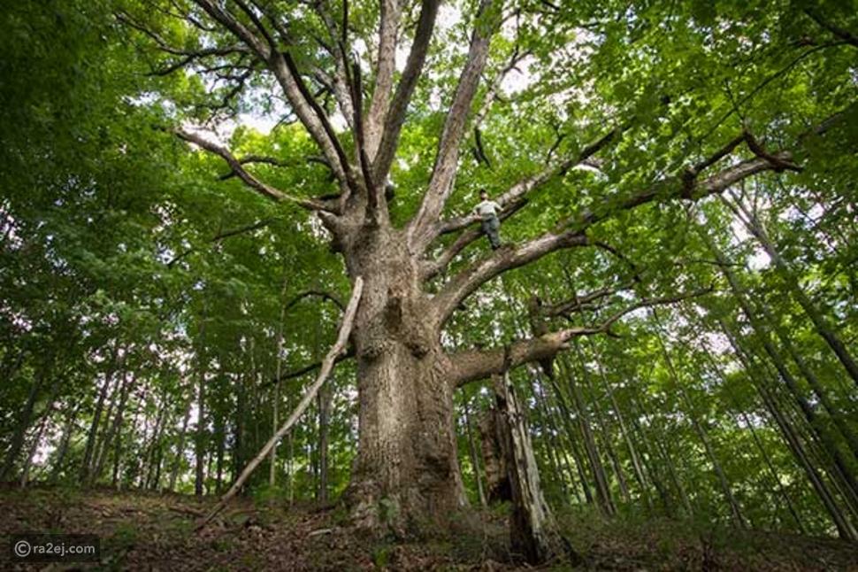 تسلق الأشجار