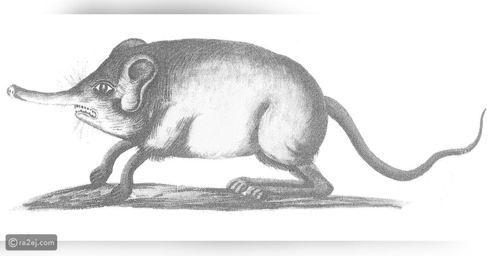 شاهد: حيوان ذو شكل غريب اختفى لأكثر من 50 عاماً وظهر من جديد بكثرة